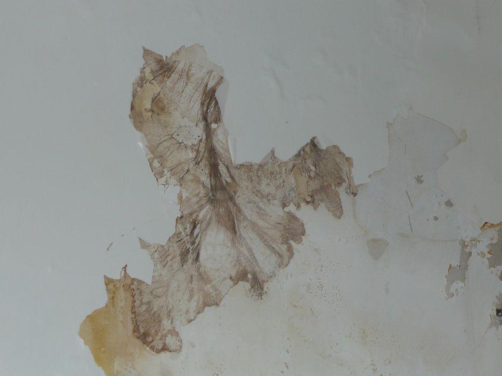 Les champignons lignivores m rule coniophore entreprise de diagnostic termites sur - Champignon de maison merule ...