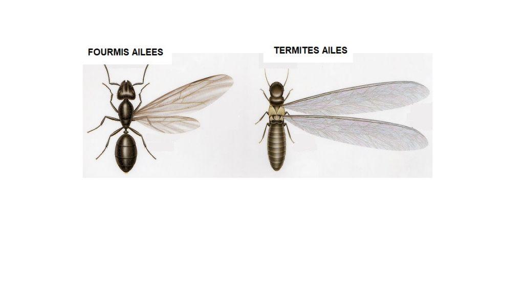 diff rences entre les termites et les fourmis entreprise de diagnostic termites sur pessac t. Black Bedroom Furniture Sets. Home Design Ideas